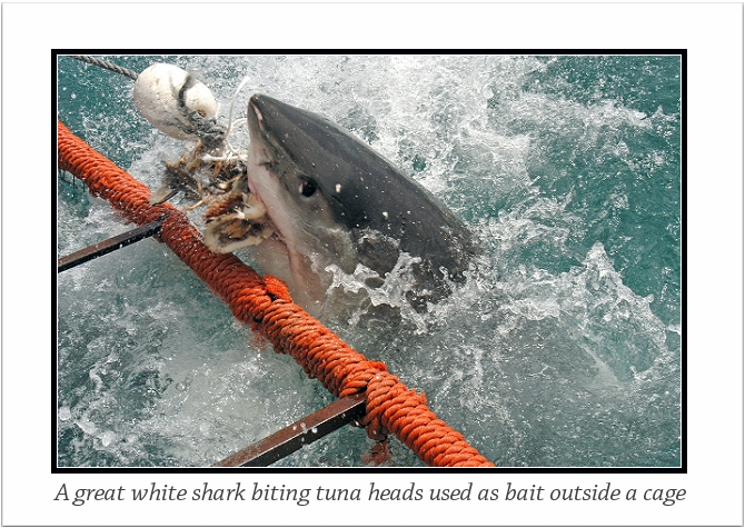 A great white shark biting tuna bait off False Bay in Cape Town, South Africa