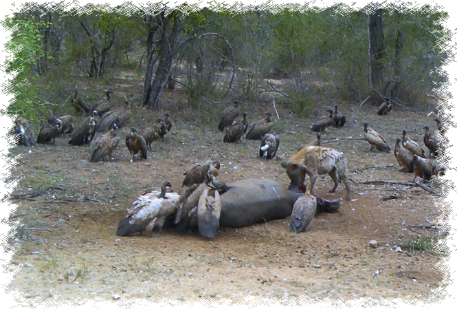 Hyena and vultures feasting on baby rhino at Kruger National Park, Dec 2015