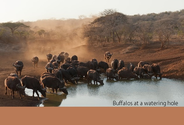 Buffalos at a watering hole in Kruger National Park